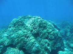 巨大健康的微孔珊瑚(陳昭倫提供)