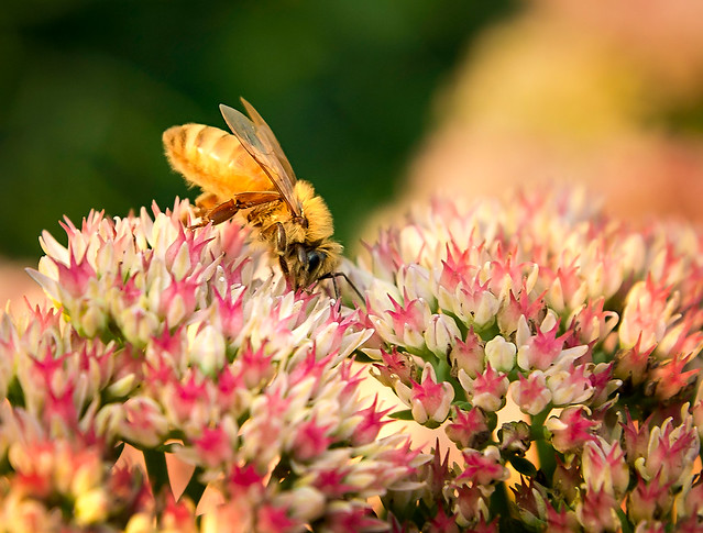 honey bee photos honey bee galleries honey bee markagray honey bee digital clipart cartoon bumble bee honey bee photography alaska honey bee photography utah honey b photography sedum garden phlox plant sedum autumn joy sedum plant care sedum flower autumn joy sedum plant yarrow plant stonecrop plant