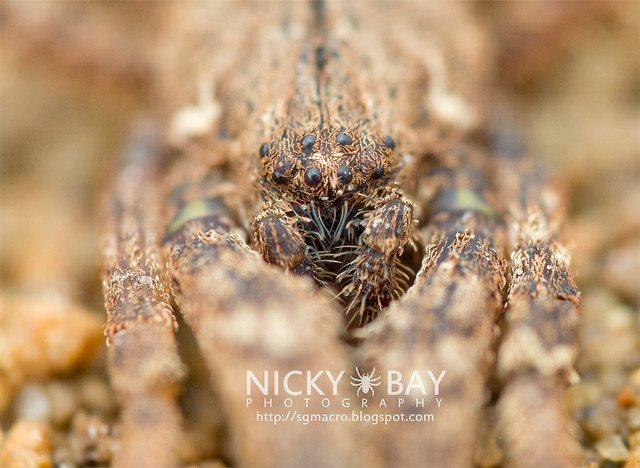 Crab Spider (Thomisidae) - DSC_4715
