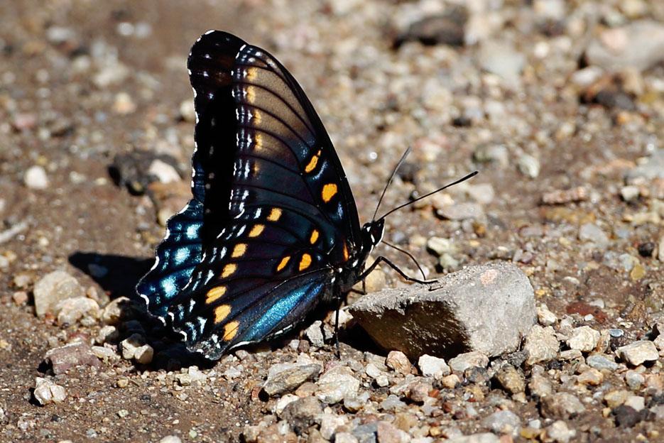 090312_02_butterfly_arizonaRedSpottedPurple01