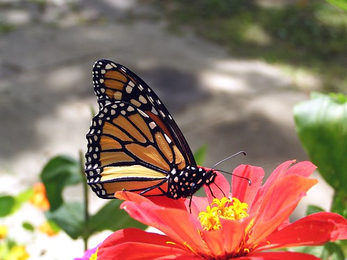 2012_0915Monarch0001 by maineman152 (Lou)
