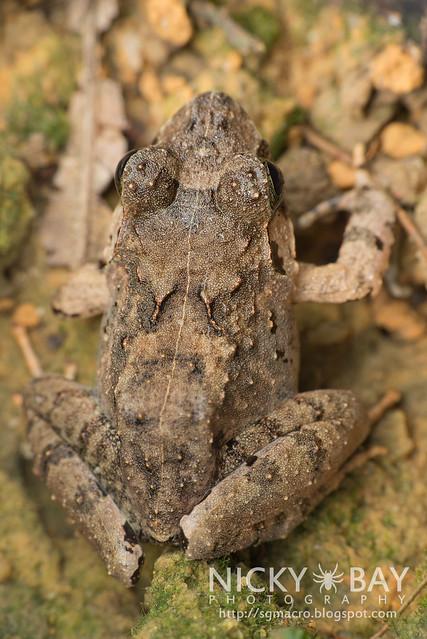 Malesian Frog (Limnonectes malesianus) - DSC_5203