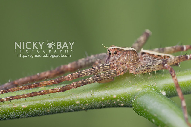 Nursery Web Spider (Pisauridae) - DSC_4085