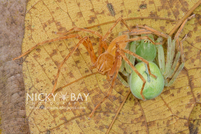 Huntsman Spiders (Sparassidae) - DSC_3678