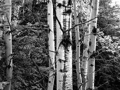 Tree trunks b and w