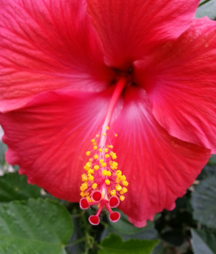 The reproductive system of a hibiscus flower im just walkin the yellow izmirmasajfo