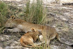 Lionesses with cubs, Selous Game Reserve (36)