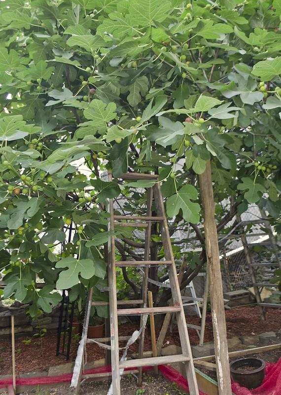 fig tree 100th & Lexington Avenue