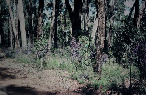 Hovea elliptica (Tree Hovea)