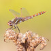 Variegated Meadowhawk - Photo (c) Steve Berardi, some rights reserved (CC BY-SA)