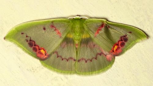 Geometer Moth, Rhodochlora exquisita?