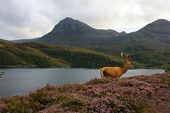 Deer at Orkney, Scotland.