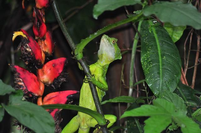 Basilisco, es uno de los pocos lagartos que pueden correr sobre el agua, a la increíble velocidad de 1.5metros por segundo ... Tortuguero - 7950176714 0bd98092ea z - Tortuguero, entre la tranquilidad y la vida salvaje