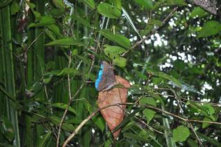 Mariposa azul, símbolo de paz, amor y felicidad. Se dice que es milagrosa!. Tortuguero - 7950190190 a714217d9d n - Tortuguero, entre la tranquilidad y la vida salvaje