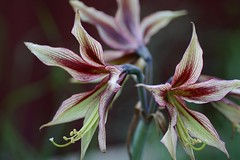 amaryllis belladonna(0.0), erythronium(0.0), flower(1.0), macro photography(1.0), flora(1.0), close-up(1.0), plant stem(1.0), hippeastrum(1.0), petal(1.0),