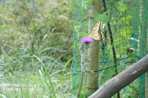 アゲハ蝶なんて久々に見た