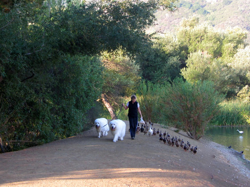 dog/duck walk