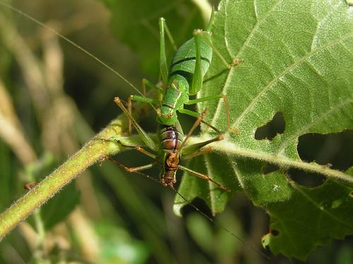 Leptophyes punctatissima - Leptophye ponctuée ou Sauterelle ponctuée - Speckled bush-cricket - 07/09/12