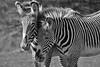 Zebras - Black & White by JDPhotography -