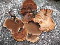 mushroom, auriculariales, fungus, lingzhi mushroom, agaricomycetes, edible mushroom, shiitake,