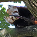 Red Panda washing