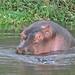 Hippopotamus, Lake Awassa (Tim Meling)