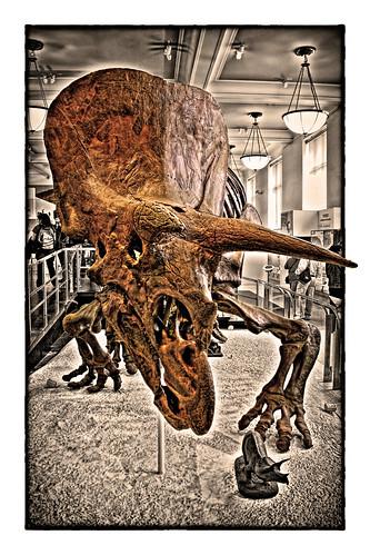 New York City USA – American Museum of Natural History – David H. Koch Dinosaur Wing – Triceratops horridus 02