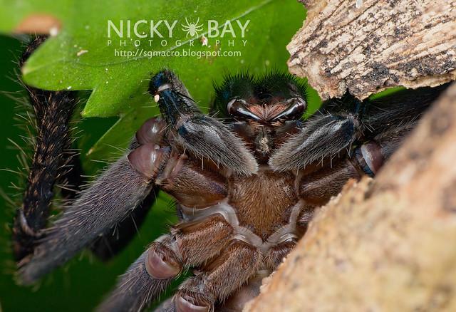Huntsman Spider (Sparassidae) - DSC_2073