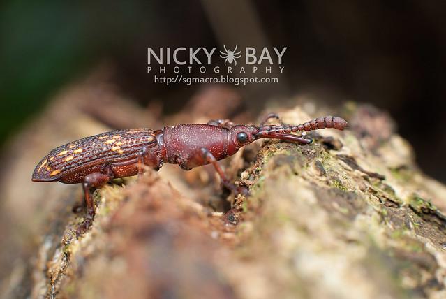 Weevil (Curculionoidea) - DSC_7170