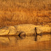 Marsh Mugger Crocodile, Satpura (David Raju)