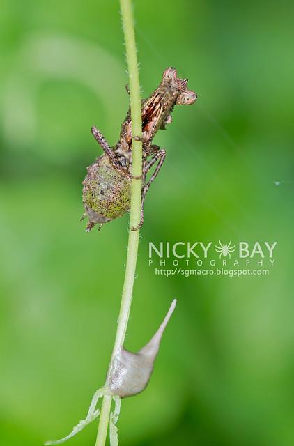 Pachymantis bicingulata - DSC_0581