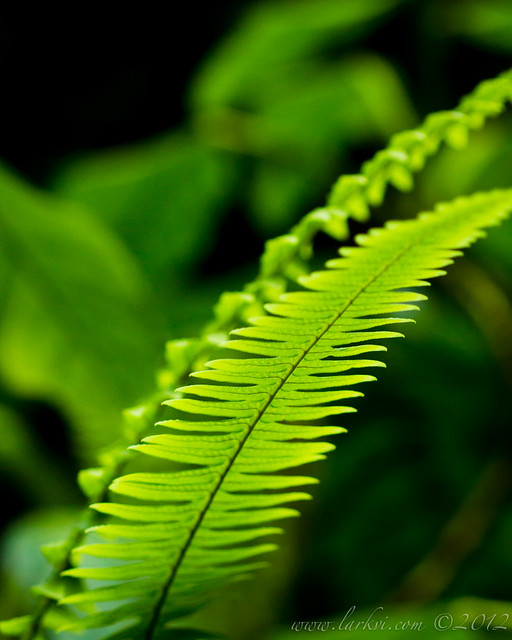 Frond, Arenal Volcano, Costa Rica, 2012