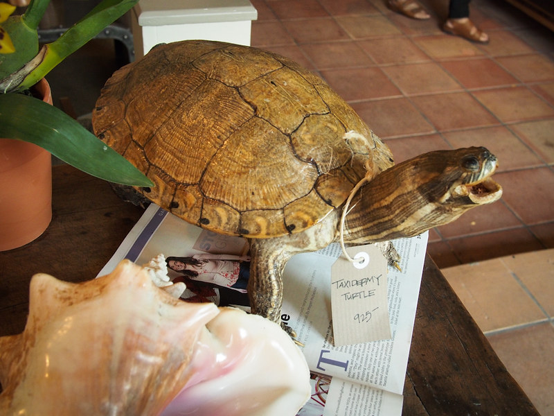 taxidermy tortoise