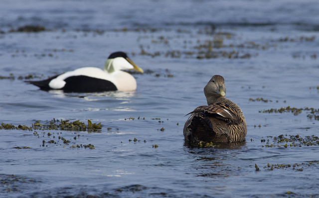 eider male + female