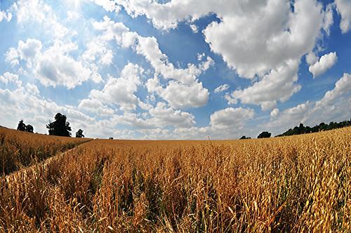 uk field countryside britain hitchin sumer