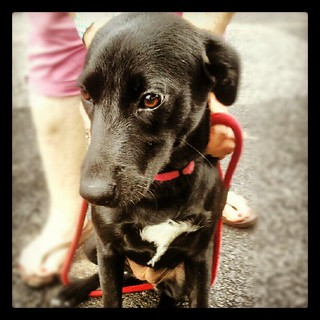 Former #foster baby Belle hanging out at the track during a rain delay #rescue #dogs #adoptdontshop