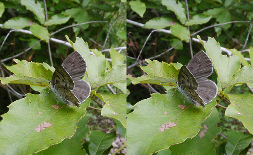 Niphanda fusca, stereo parallel view