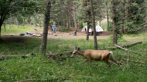 Doe in our camp at Black Mountain
