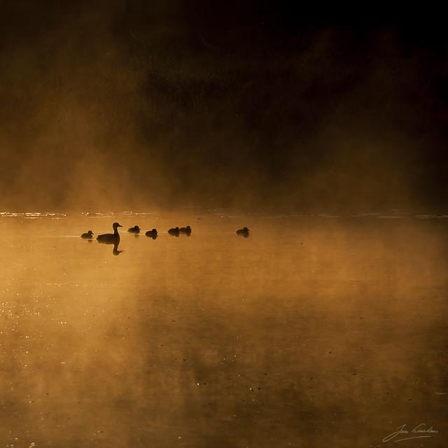 Good Morning Ducks