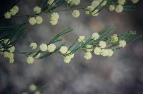 Acacia pentadenia (Catbush)