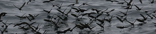 Eliots storm petrels Pelagic birding in Peru with Nature Expeditions 04