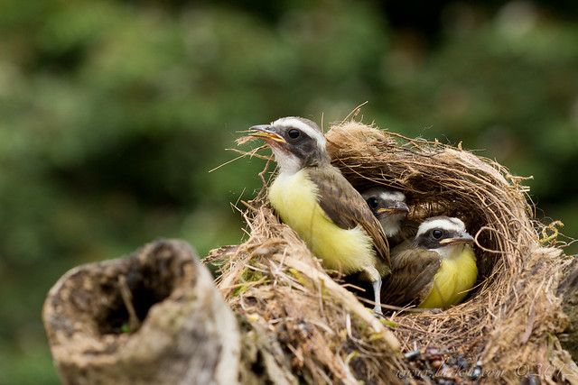 Social Flycatcher (Myiozetetes similis) Chicks in Nest, Rio Frio, Costa Rica, 2012