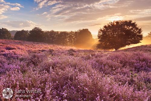 sunrise heather thenetherlands heath veluwe posbank