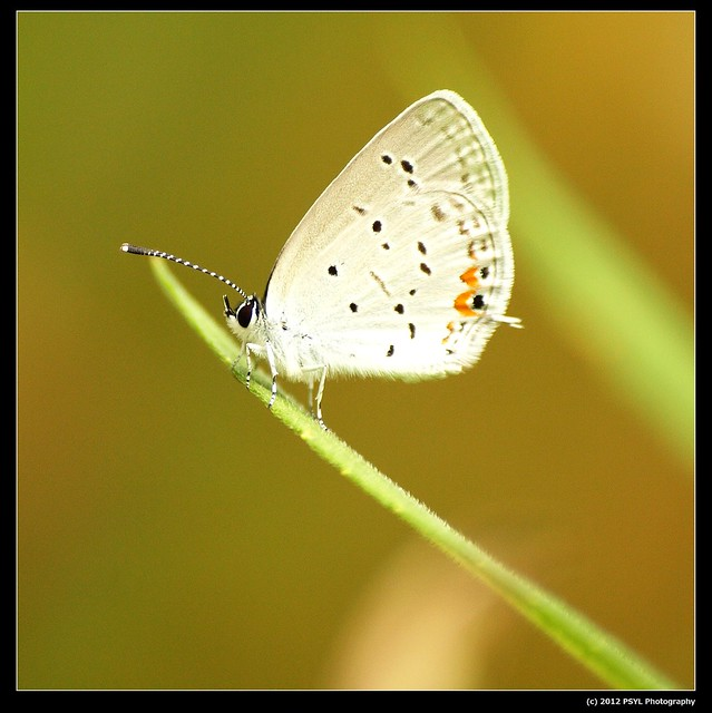 Eastern Tailed Blue (Cupido comyntas)