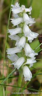 Spiranthes cernua, Nodding Lady's-Tresses