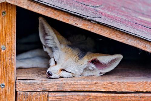 無料写真素材, 動物 , 狐・キツネ, 寝顔・寝姿, フェネックギツネ