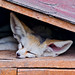 Fennec sleeping under the roof