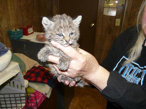 Chips in loving hands of LTWC volunteer. US Forest Service photo.