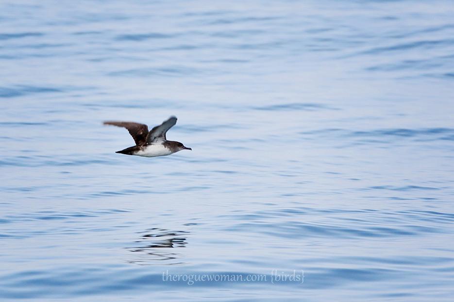 081812_03_bird_blackVentedSheerwater