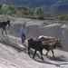 Oxen pulling a wooden beam - Jalando un tronco de madera; cerca de San Pedro Tidaá en el camino a Santiago Tilantongo, Región Mixteca, Oaxaca, Mexico por Lon&Queta
